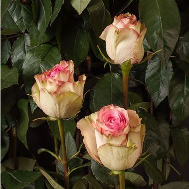 rose esperance ecuador wholesale flowers florist supplies uk