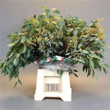 Eucalyptus Populus With Berries Wholesale Flowers Amp Florist Supplies Uk