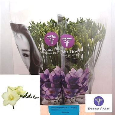 Freesia ambiance single