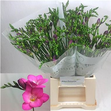 Freesia pink passion single