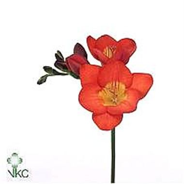 Freesia red river single