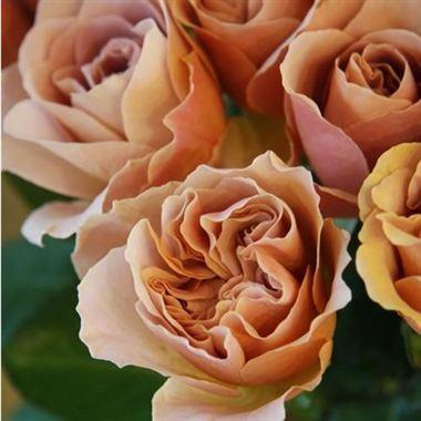 Cafe Latte Garden Roses Wholesale Flowers Amp Florist