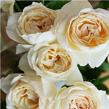 Charmant Rose Garden Yves Piaget Cream (scented)