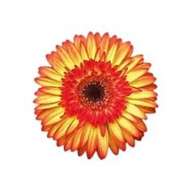 Gerbera Sunspot