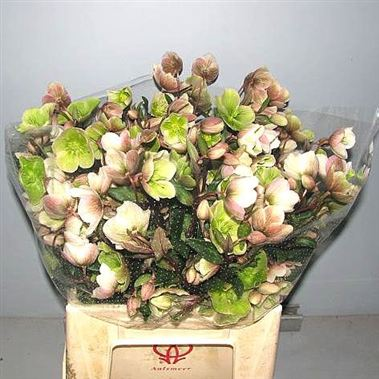 Wholesale flower prices for everyoneHellebores WinterbellsHellebores WinterbellsWhen should I order?