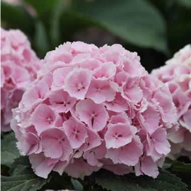 polskisport  pictures of light pink hydrangea, Beautiful flower