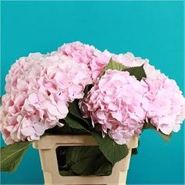 hydrangea verena pink  wholesale flowers uk  wedding flowers, Beautiful flower