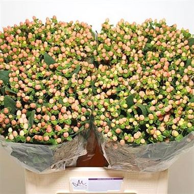 Hypericum Sugar Flair