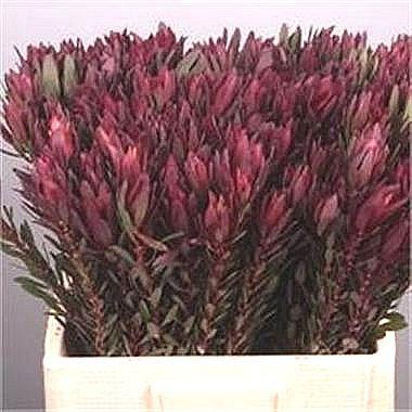 leucadendron safari sunset spray wholesale flowers uk wedding flowers triangle nursery. Black Bedroom Furniture Sets. Home Design Ideas