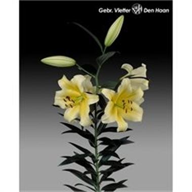 Lily Oriental - Conca d'Or