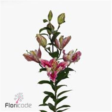 Lily Oriental - Parrot Pink