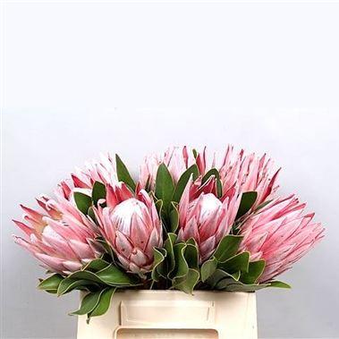 Proteas cynaroides king wholesale flowers uk wedding flowers protea cynaroides king mightylinksfo