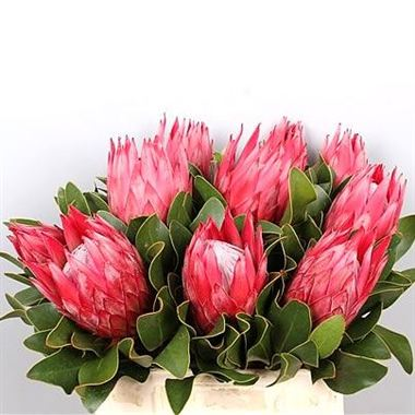 Proteas Madiba Wholesale Flowers Uk Wedding Flowers