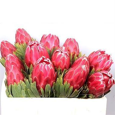 Protea Venus 40cm Wholesale Dutch Flowers Amp Florist