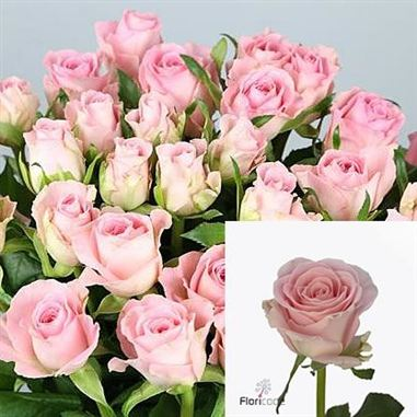 Rose Babyface 50cm Wholesale Dutch Flowers Amp Florist