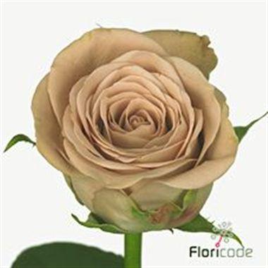 Rose Cappuccino 60cm