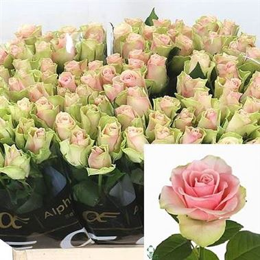 Rose La Belle 40cm (small headed)
