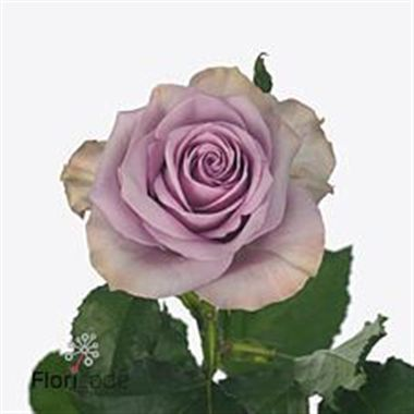 Rose Nightingale 60cm | Wholesale Flowers & Florist