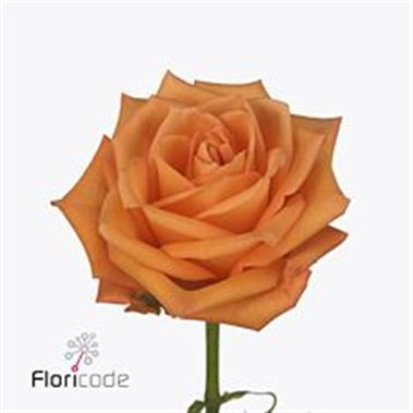 Rose orange party 40cm (Small Headed)