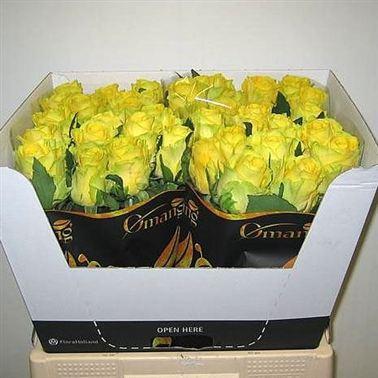 rose penny lane 70cm wholesale flowers florist supplies uk. Black Bedroom Furniture Sets. Home Design Ideas