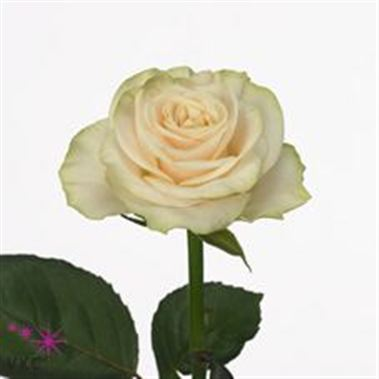 Rose solsy 40cm (small headed)