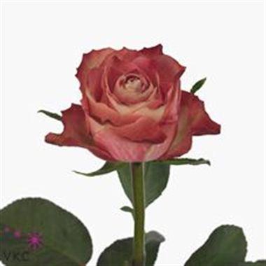 Rose Upper Secret Dark 40cm Wholesale Flowers Florist Supplies Uk