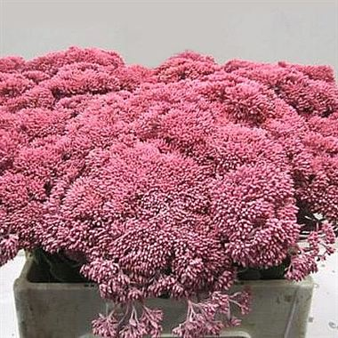 Sedum Painted Pink