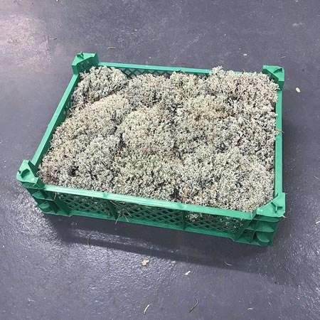 Silver Moss Wholesale Dutch Flowers Florist Supplies Uk
