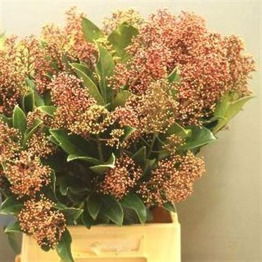 Skimmia panther 40cm wholesale flowers florist supplies uk skimmia pink panther mightylinksfo