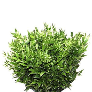 Soft Ruscus 90cm (Small Leaf)