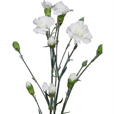 spray carnations bridal white wholesale flowers florist supplies uk