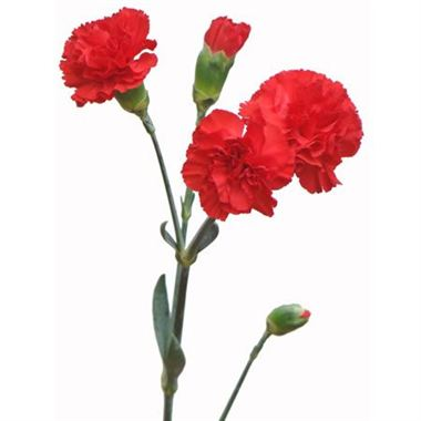 0819e312a619 Spray Carnations Scarlet | Wholesale Flowers & Florist Supplies UK