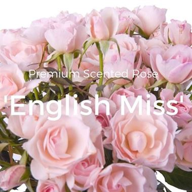 Rose Spray english miss (scented)