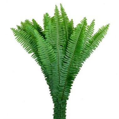 Sword / Ladder Fern