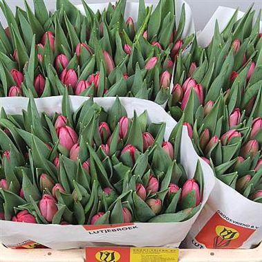 Tulips anaconda