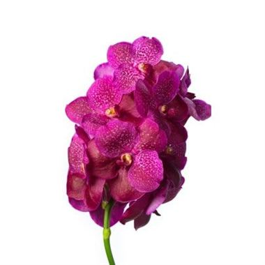 Vanda Orchid - fuchsia magic