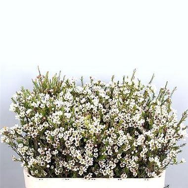 Waxflower Blondie 60cm Wholesale Dutch Flowers Florist Supplies Uk