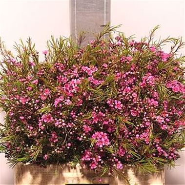 Waxflower Eden