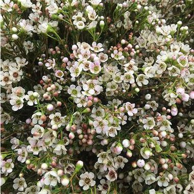 Waxflower Maya White Wholesale Flowers Florist Supplies Uk