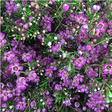 Waxflower rotem purple 70cm wholesale flowers florist supplies uk waxflower rotem mightylinksfo