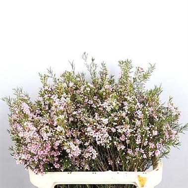 Waxflower Wendy