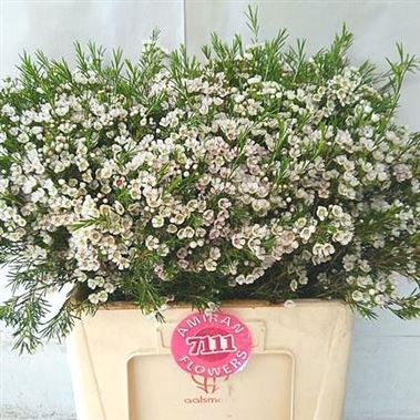 Waxflower white gold