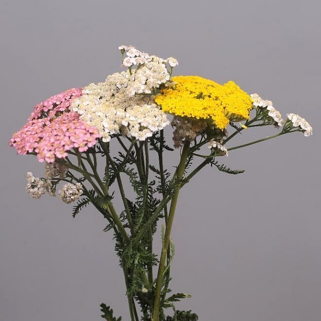 ACHILLEA MIX (COLS MAY VARY)
