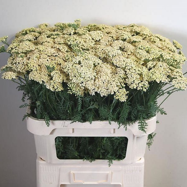 ACHILLEA CREME PERFECTION