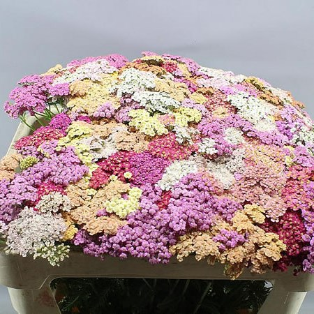 ACHILLEA DREAM MIX