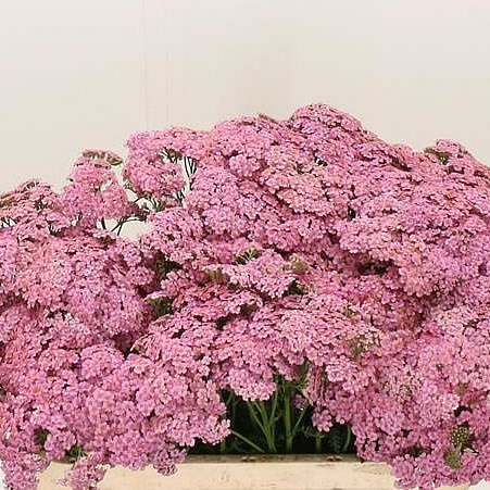 ACHILLEA MONEYMAKER