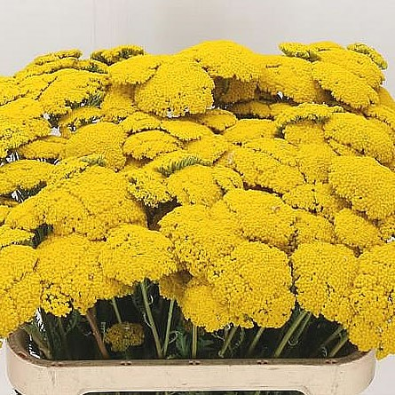 ACHILLEA PARKERS VARIETY