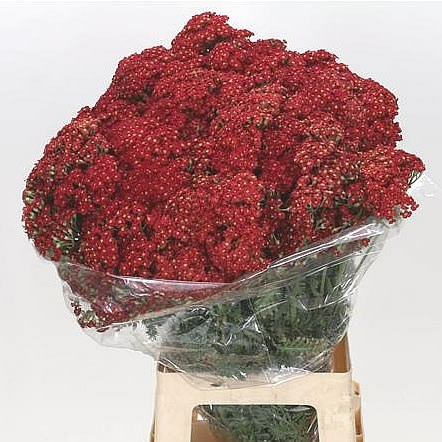 ACHILLEA SURPRISE CHERRY