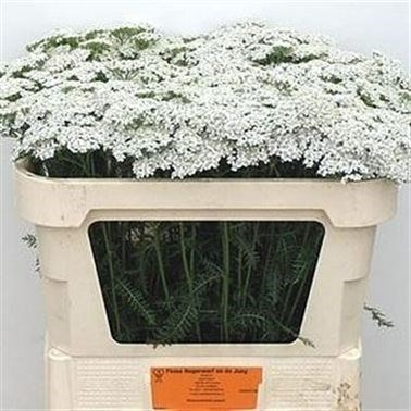 ACHILLEA WHITE BEAUTY