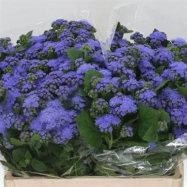 AGERATUM BLUE PLANET